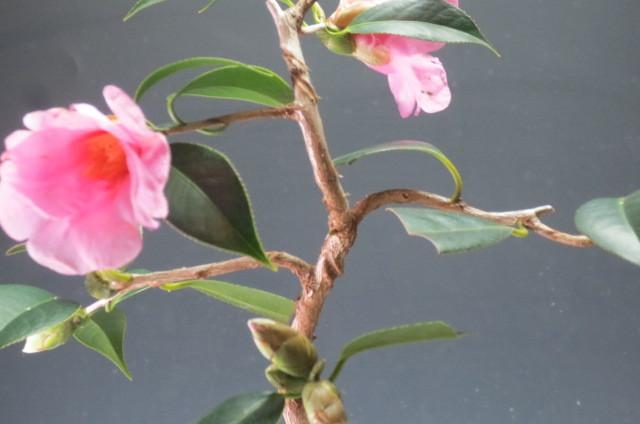 椿 太郎冠者 椿の盆栽 4045_画像4
