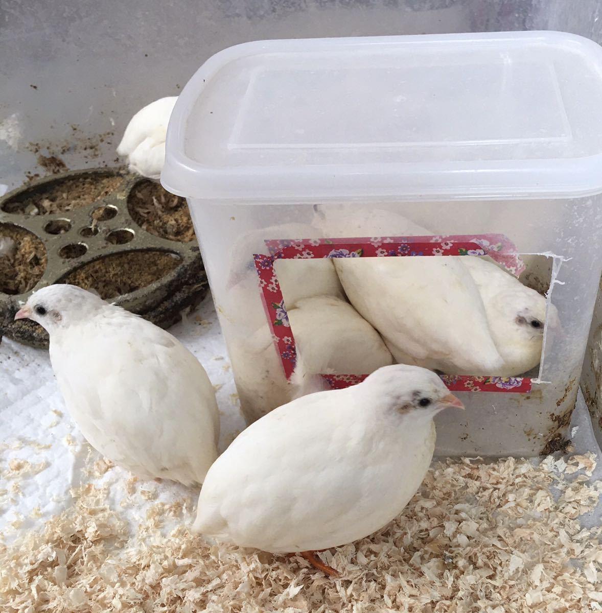 ヒメウズラ 有精卵 各種7個 送料無料 各色 白姫 シルバー系 茶系 黒系 姫うずら 種卵 3セット出品です!_画像3