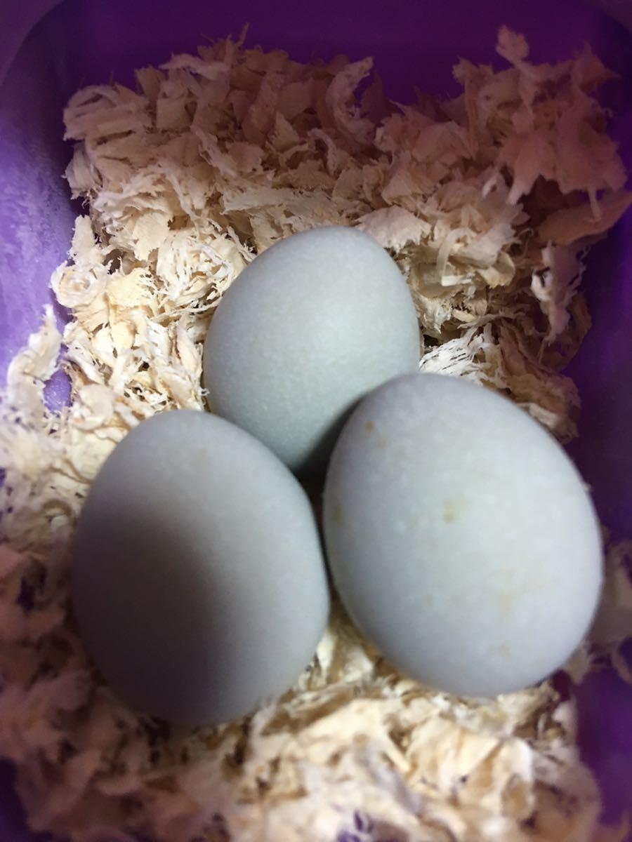 ヒメウズラ 有精卵 各種7個 送料無料 各色 白姫 シルバー系 茶系 黒系 姫うずら 種卵 3セット出品です!_画像9