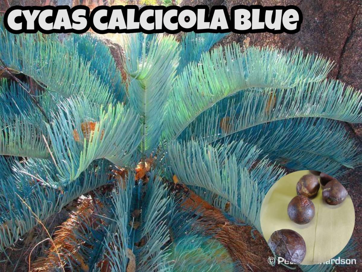 【レア・種子】 サイカス カルシコーラ CYCAS CALCICOLA BLUE 2粒  【送料73円】_画像1