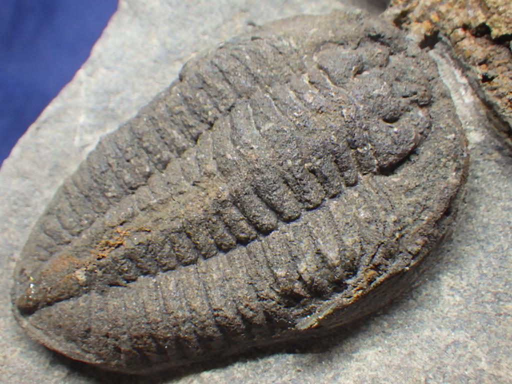 巣穴1円モロッコ、希少 Prionocheilus+Starfish三葉虫化石0125_画像2