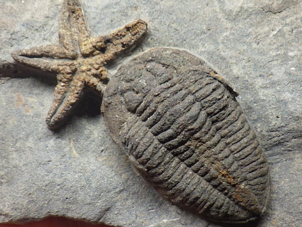 巣穴1円モロッコ、希少 Prionocheilus+Starfish三葉虫化石0125_画像1