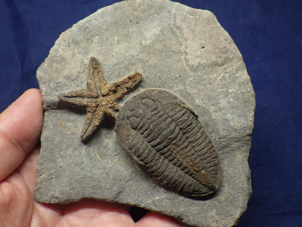 巣穴1円モロッコ、希少 Prionocheilus+Starfish三葉虫化石0125_画像7