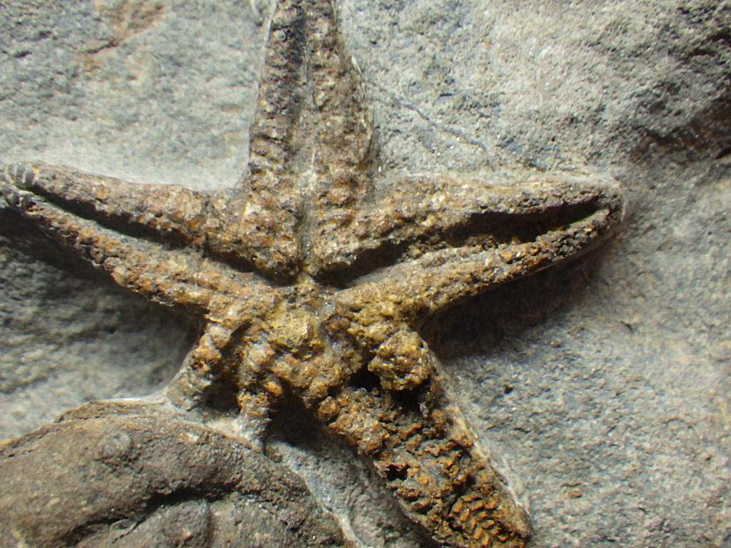 巣穴1円モロッコ、希少 Prionocheilus+Starfish三葉虫化石0125_画像5