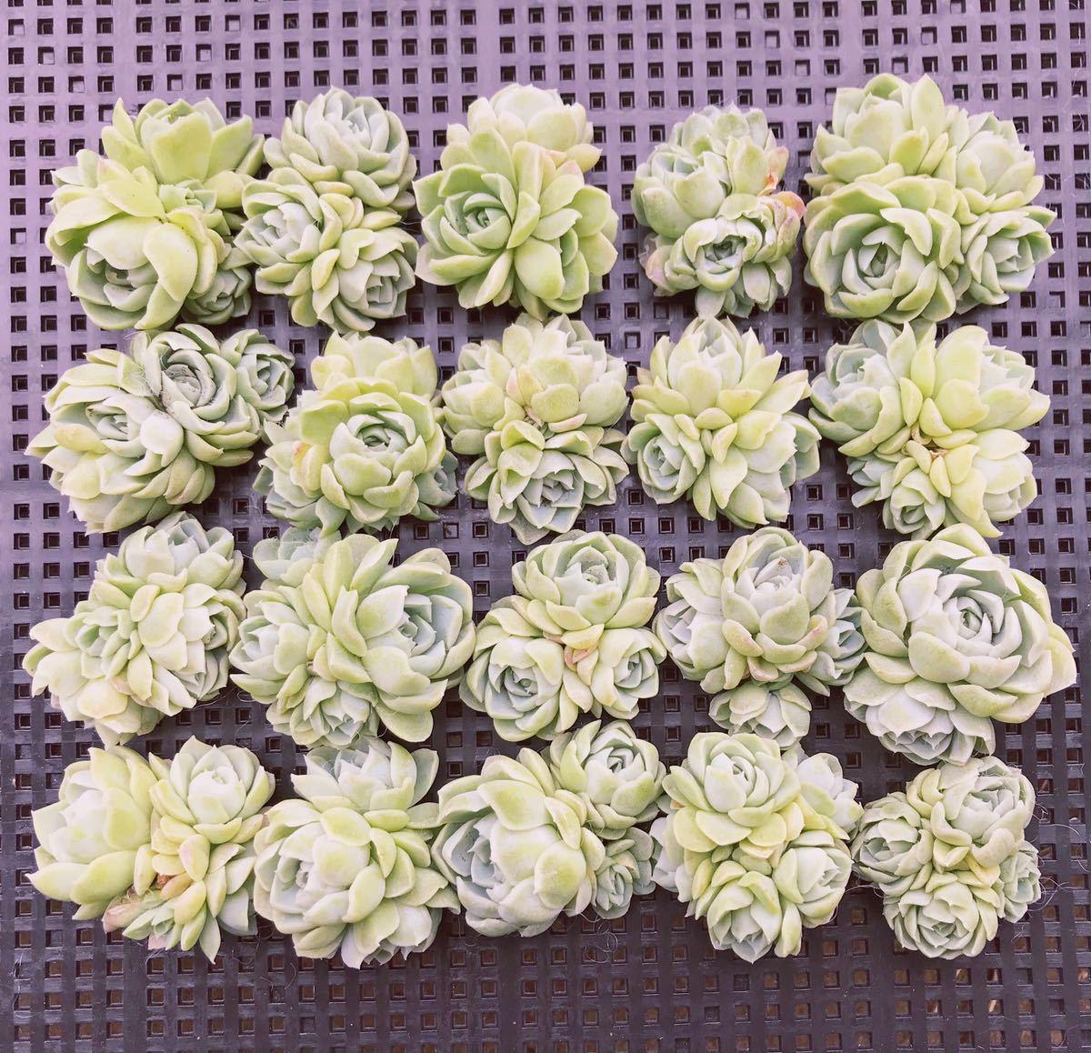 多肉植物 ヒューミリス 20 群生
