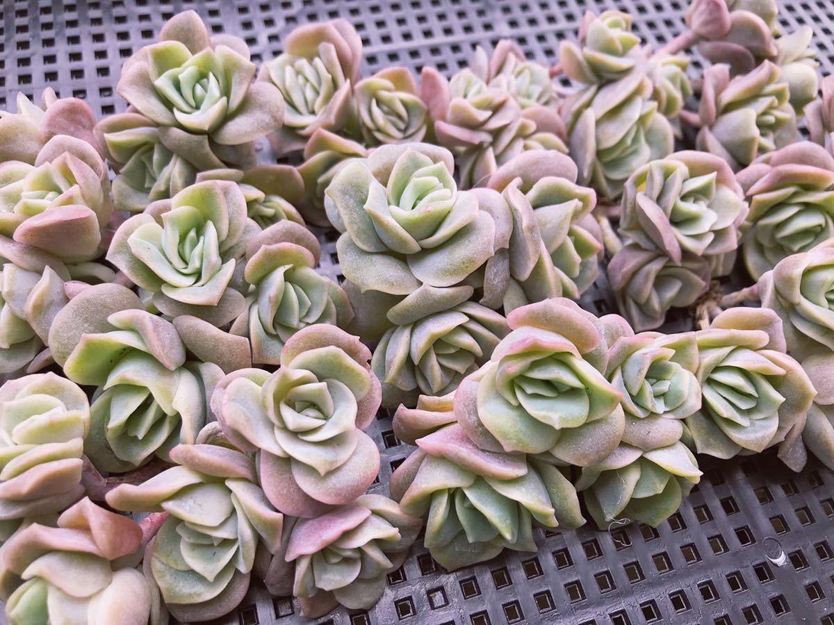 多肉植物 ラブリーローズ 群生 15個