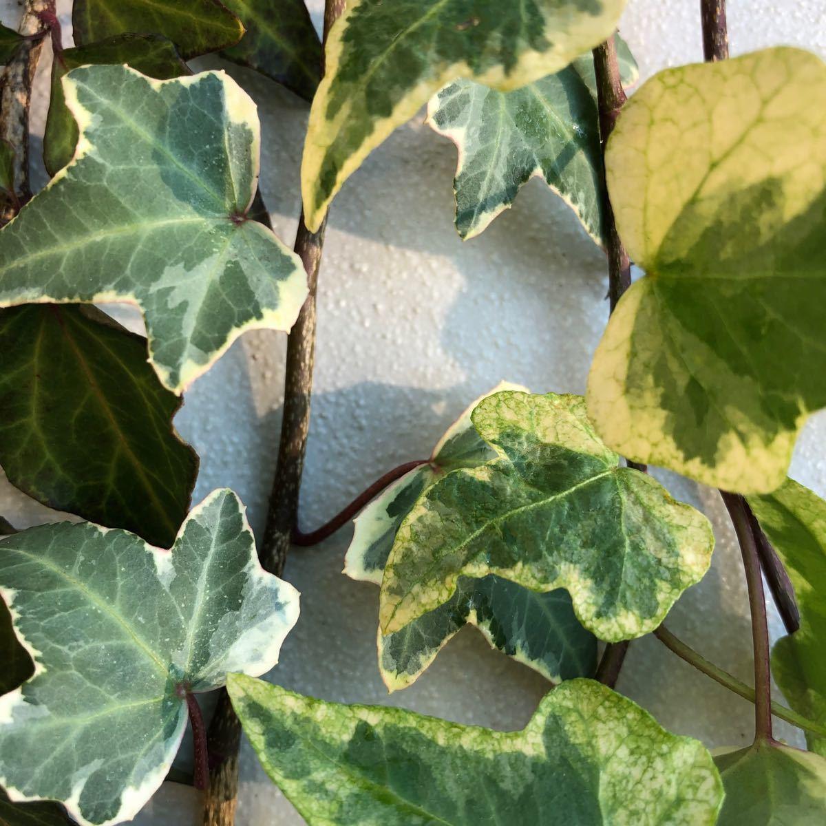 ヘデラ アイビー(2品種)摘みたて 無農薬 無施肥