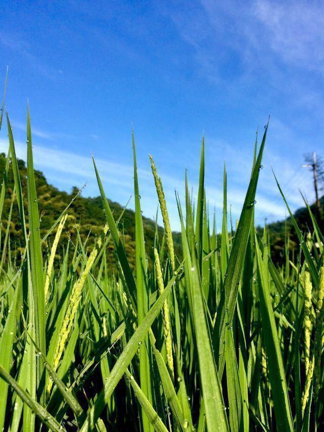 """令和2年産【丹波産】コシヒカリ 玄米 -特別栽培米-""""星ひかり"""" 450g_画像2"""