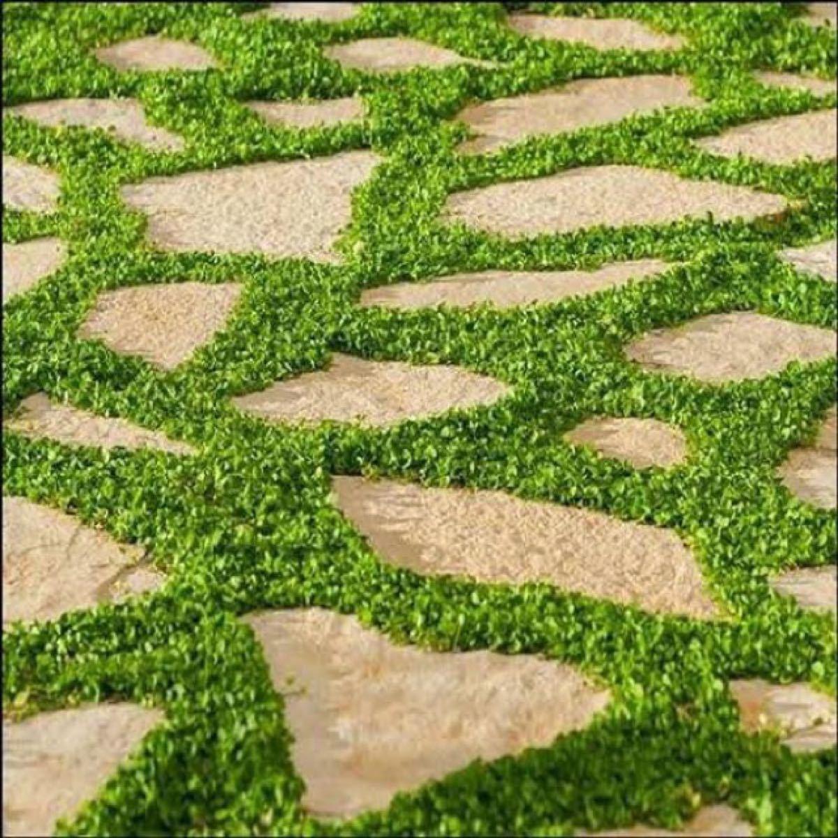 【最安値】ディコンドラ、ダイカンドラ50g種子。お洒落なグランドカバー、芝生へ
