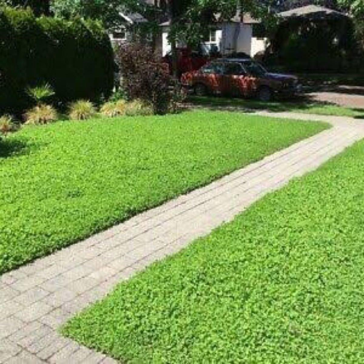 【最安値】ディコンドラ、ダイカンドラ100g種子。お洒落なグランドカバー、芝生へ