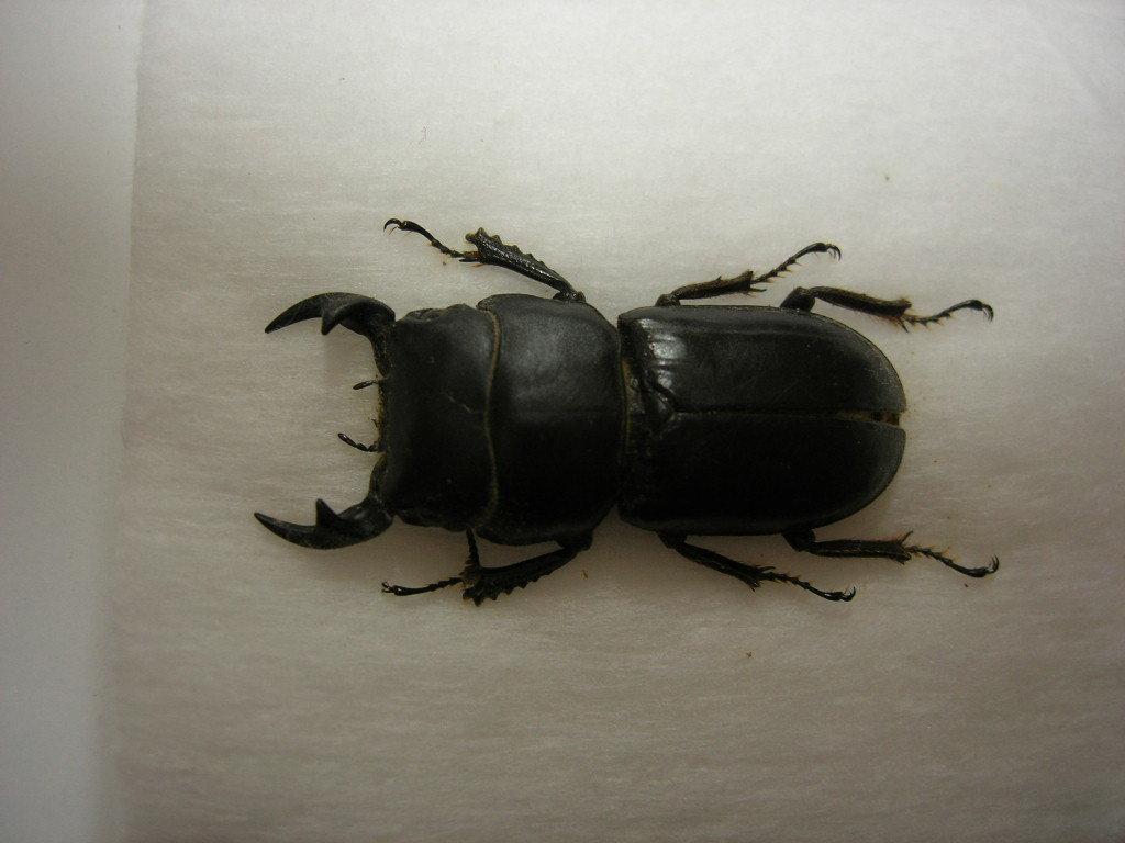 昆虫標本★入手困難★特大★ハミットオオクワガタ♂33ミリ_画像2