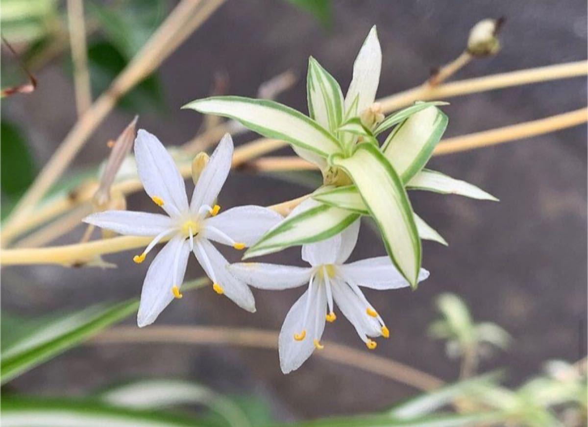 【数量限定】観葉植物 ナカフヒロハオリヅルラン(中斑広葉折鶴蘭)抜き苗 1苗