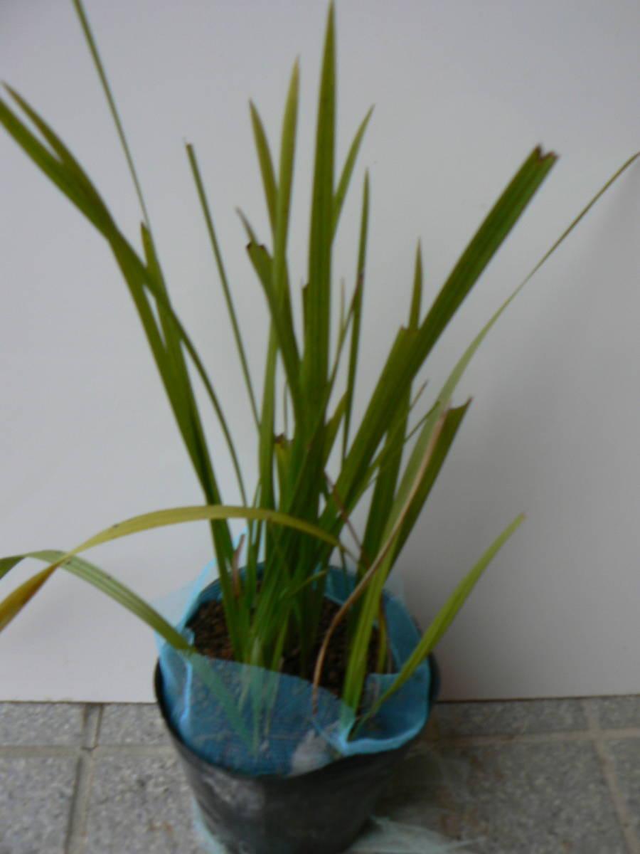 ココスヤシ 、発芽後3年程、小さな苗が全部で17本、ゆうパック60サイズ、送料込み2900円