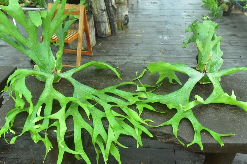 P.holttumii wild from Myanmar③ @bikamori.com  ホルタミー 山採り株 ビカクシダ