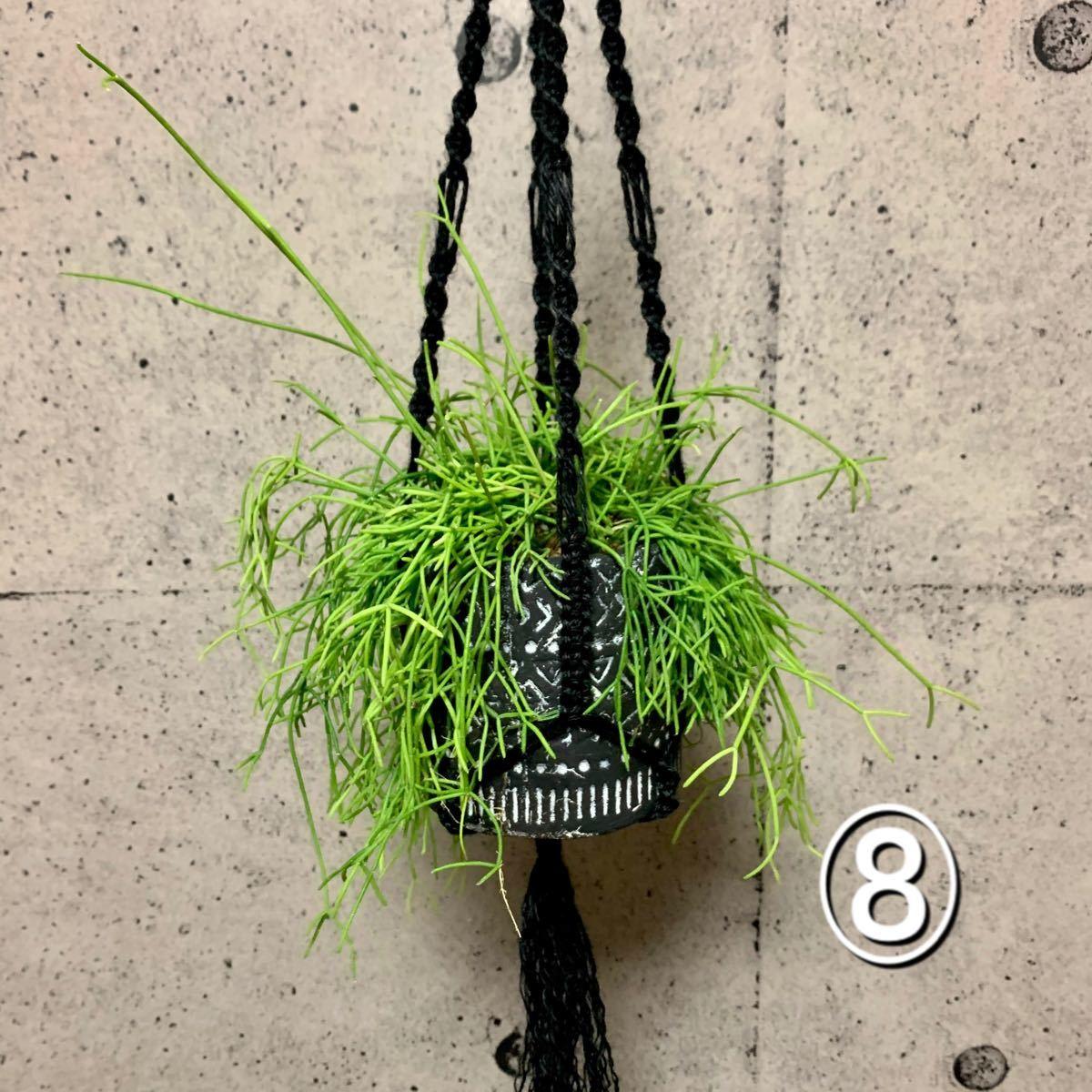リプサリス(7番、8番)デザインポット植え プラントハンガー付き ※送料込み