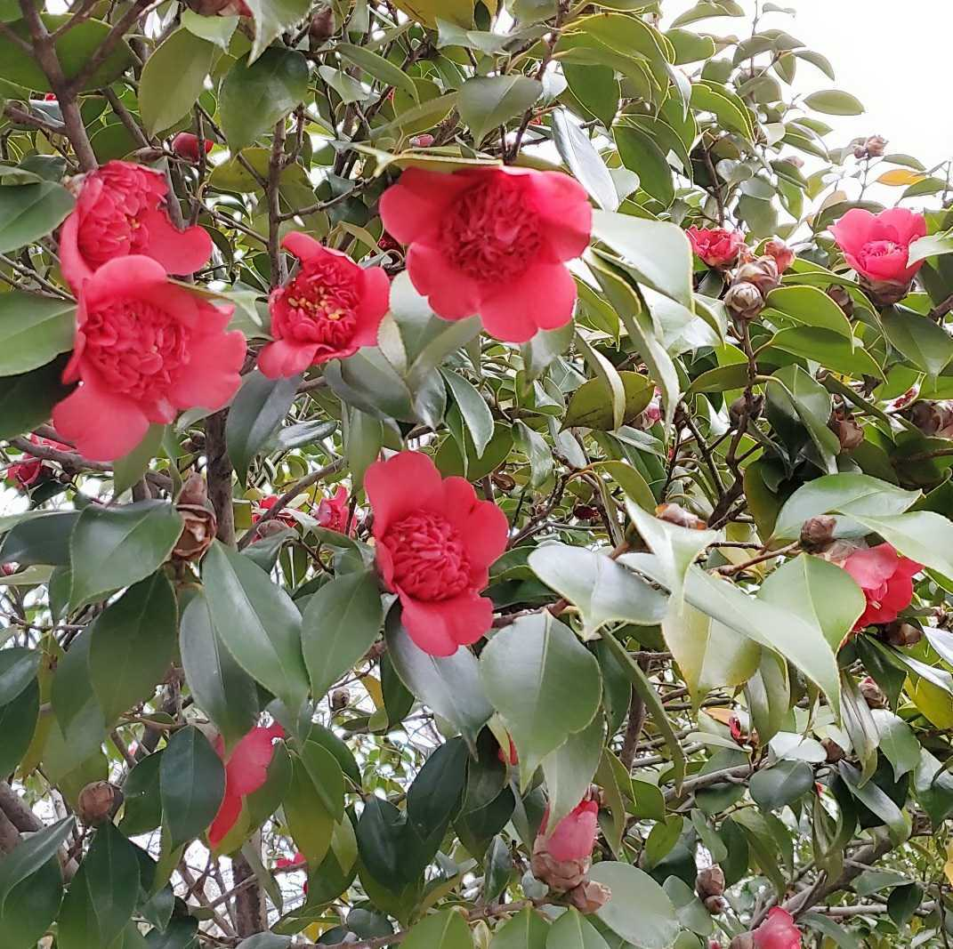 ツバキ 椿 種 5粒 唐子咲き 紅唐子 庭木 花木 盆栽 2020 10月採取 ラスト_画像2