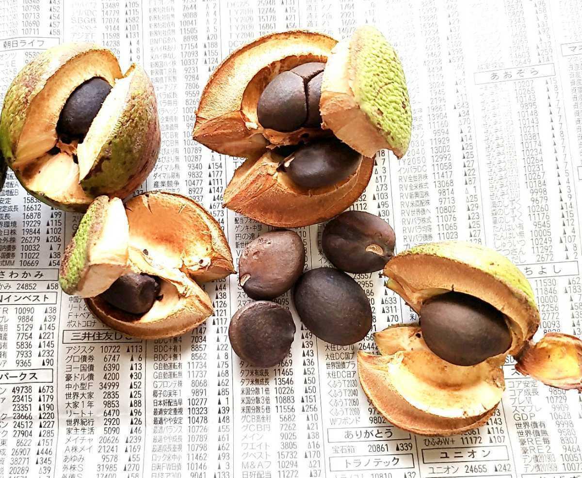 ツバキ 椿 種 5粒 唐子咲き 紅唐子 庭木 花木 盆栽 2020 10月採取 ラスト_画像4