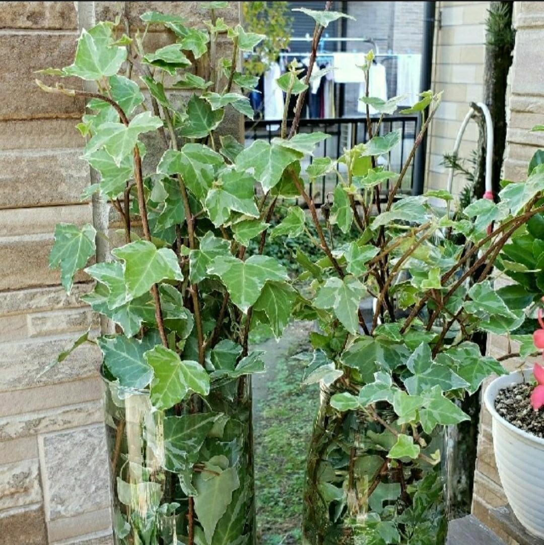 観葉植物     アイビー  ヘデラ