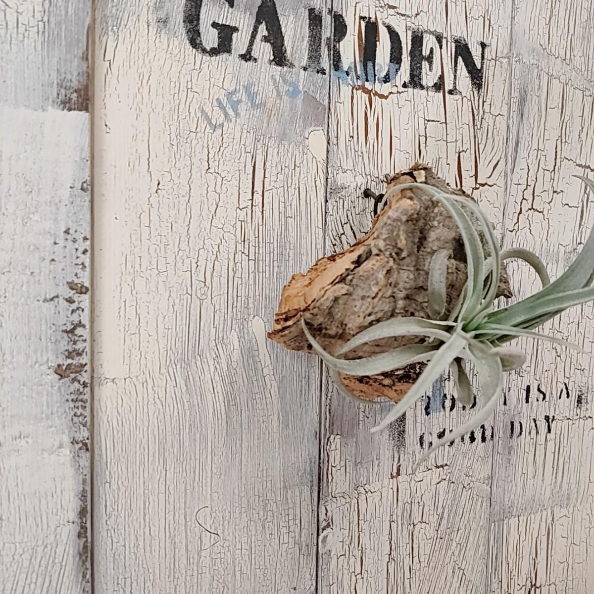 【観葉植物】エアープランツ(チランジア) コルク付