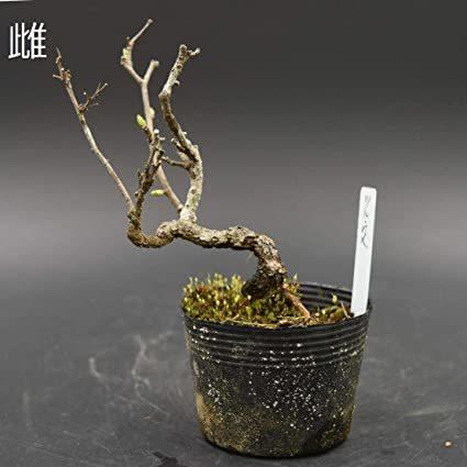 盆栽 ツルウメモドキ(雌) 盆栽用苗木 つるうめもどき ミニ盆栽・小品盆栽素材 #1911f_画像1