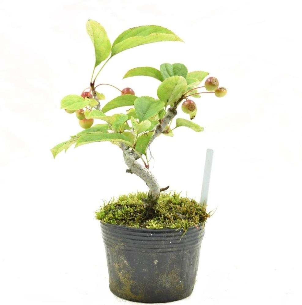 盆栽 【赤花黄ズミ】 希少種 盆栽用 ズミ 素材苗 小品盆栽 ミニ盆栽 数量あり 樹形おまかせ #1121_画像3