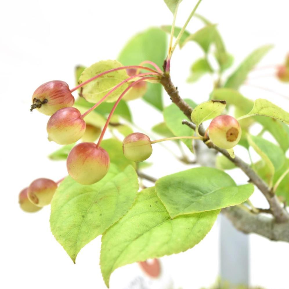 盆栽 【赤花黄ズミ】 希少種 盆栽用 ズミ 素材苗 小品盆栽 ミニ盆栽 数量あり 樹形おまかせ #1121_画像2