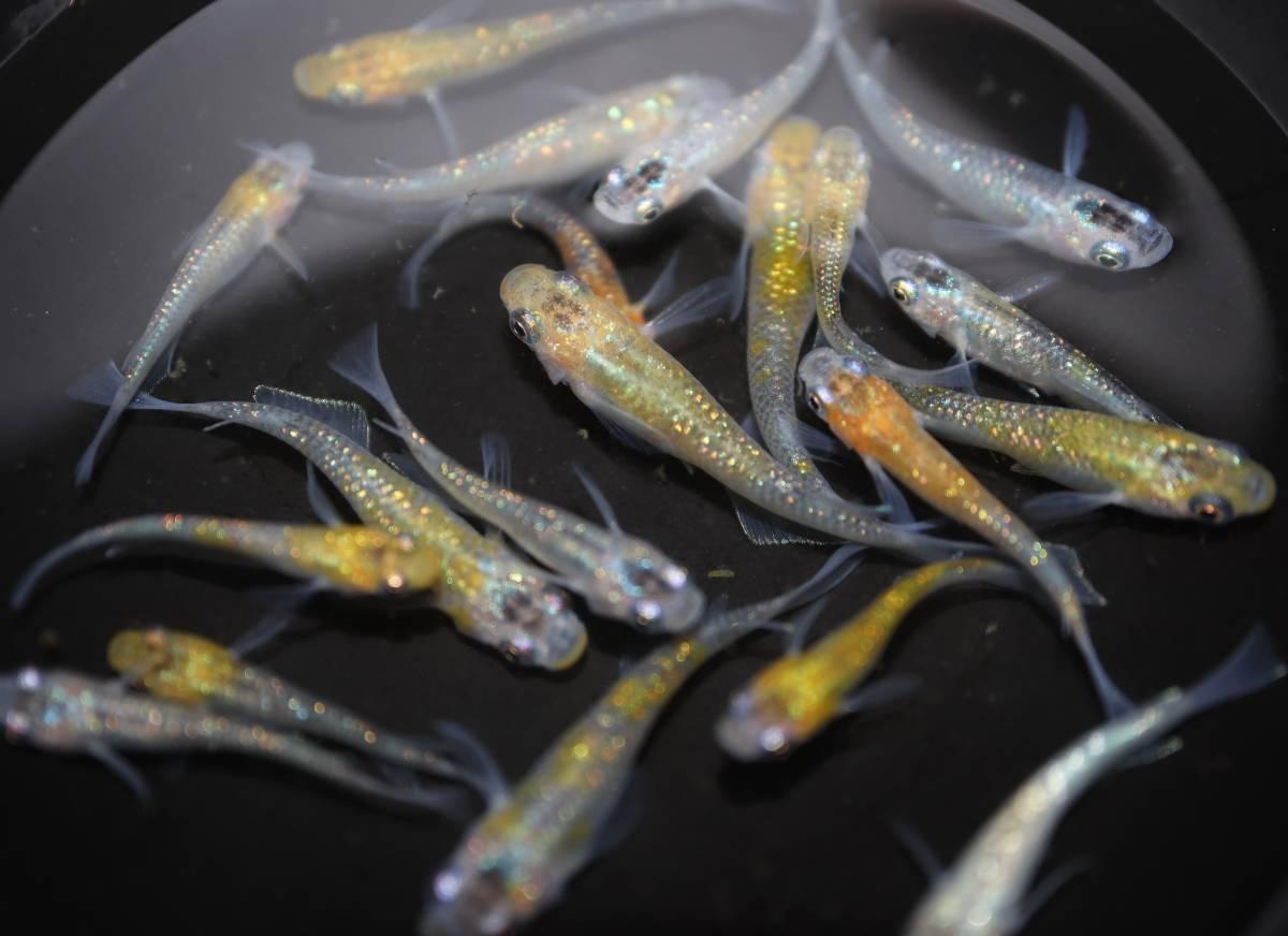 【めだか研究所】 1円 現物出品 夜桜 メダカ 人気 ラメ 若魚 20匹 M~Lサイズ_画像2
