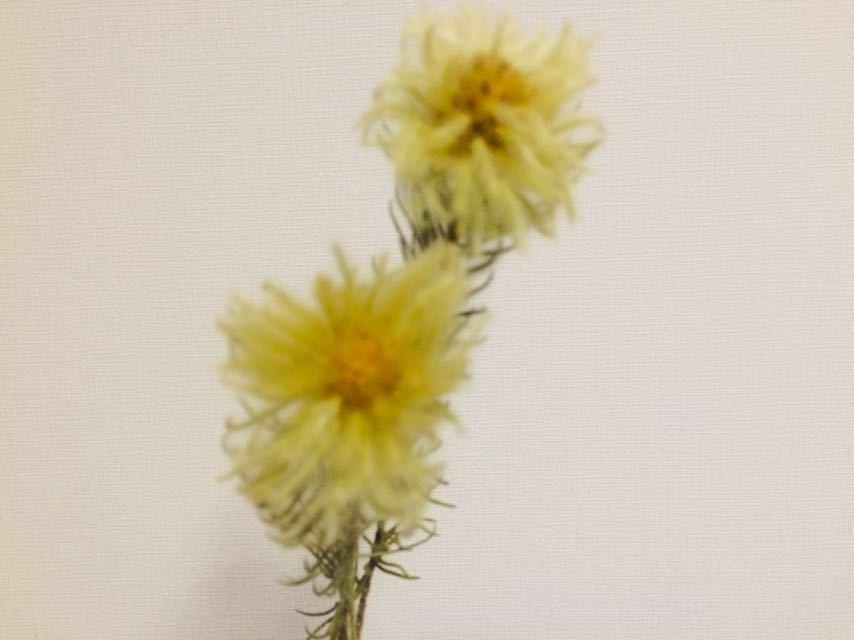 【送料無料】花材◆ドライフラワー ◆◆◆フィリカ*2本*40㎝◆グレビレアゴールドリーフ*3枚*20㎝◆2種類セット***スワッグに~*_画像5
