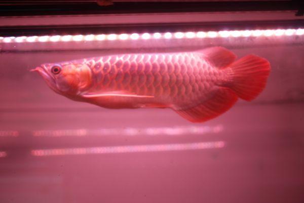 朱紫龍灯 アロワナ LED 2列 UV リバイブソード ライト 色あせ 色揚げ 大型水槽 水中照明 アクアリウム 紅龍 金龍 90cm水槽用 AR2UV-90EX_画像9