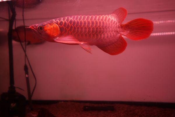 深紅龍灯 アロワナ レッド レベル2 LED 2列 大型水槽 水中照明 アロワナライト アクアリウム 熱帯魚 紅龍 90cm水槽用 でんらい AR2-90EX_画像9