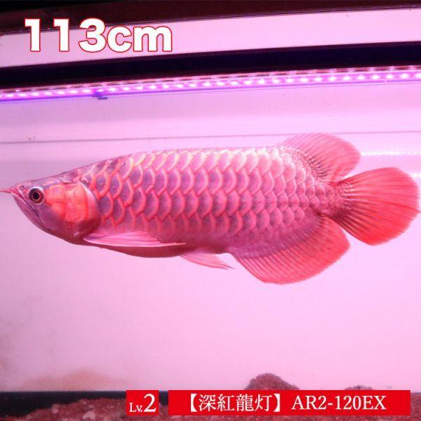 深紅龍灯 アロワナ レッド レベル2 LED 2列 大型水槽 水中照明 アロワナライト アクアリウム 熱帯魚 紅龍 120cm水槽用 でんらい AR2-120EX_画像2