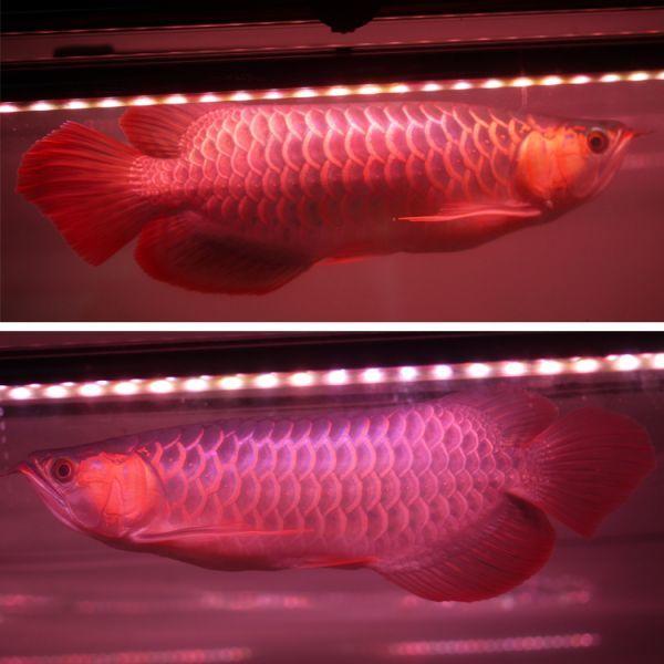 深紅龍灯 アロワナ レッド レベル2 LED 2列 大型水槽 水中照明 アロワナライト アクアリウム 熱帯魚 紅龍 120cm水槽用 でんらい AR2-120EX_画像7