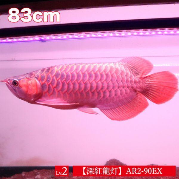 深紅龍灯 アロワナ レッド レベル2 LED 2列 大型水槽 水中照明 アロワナライト アクアリウム 熱帯魚 紅龍 90cm水槽用 でんらい AR2-90EX_画像2
