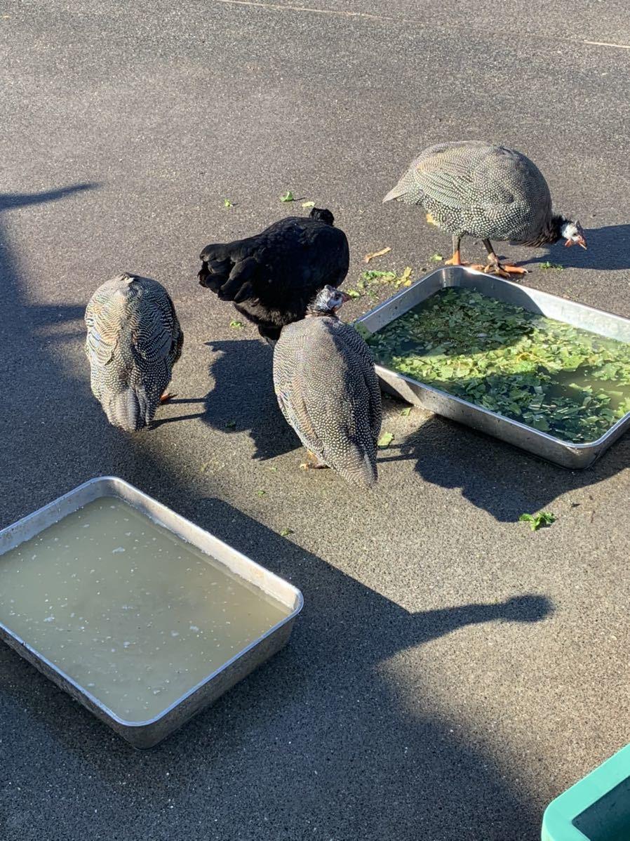 有精卵 10個 大軍鶏 セブライト 大冠桂チャボ 等いろいろ_画像5