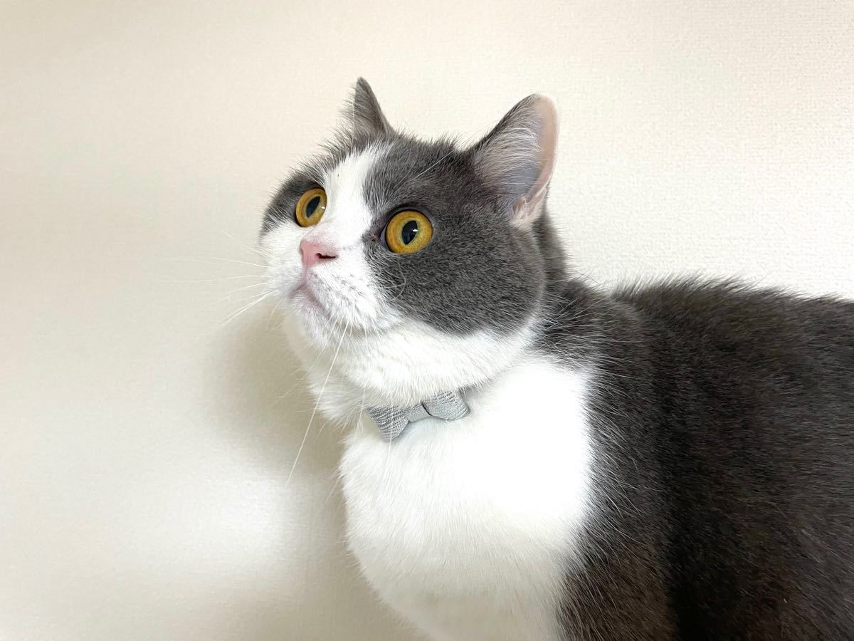 猫首輪 本革 シルバー