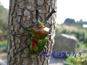 阿古谷オオクワ園★ 大型 美麗 ニジイロクワガタ ♂60ミリUP 30ペア_画像1