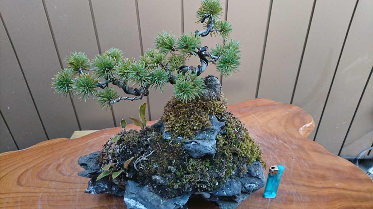 盆栽 五葉松 石付 樹高15cm_画像7