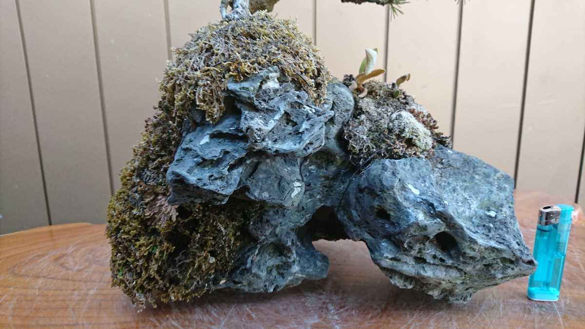 盆栽 五葉松 石付 樹高15cm_画像2