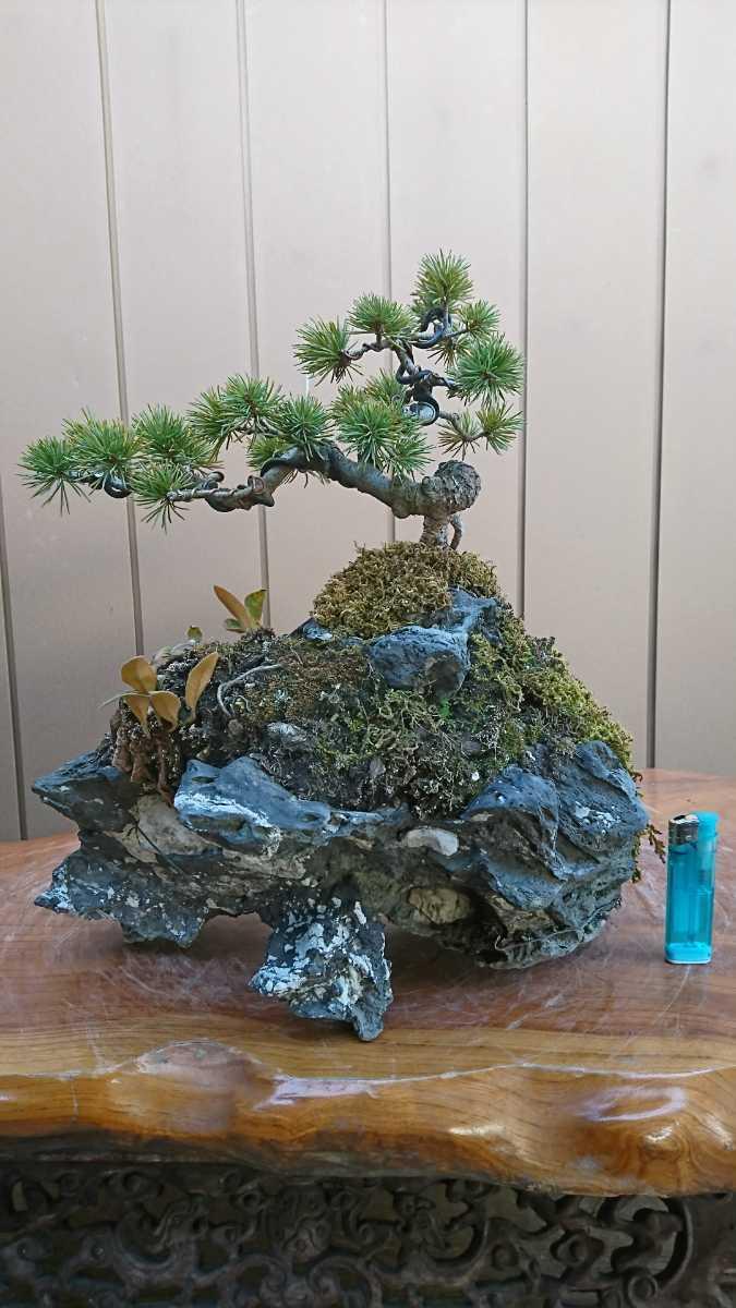 盆栽 五葉松 石付 樹高15cm_画像5