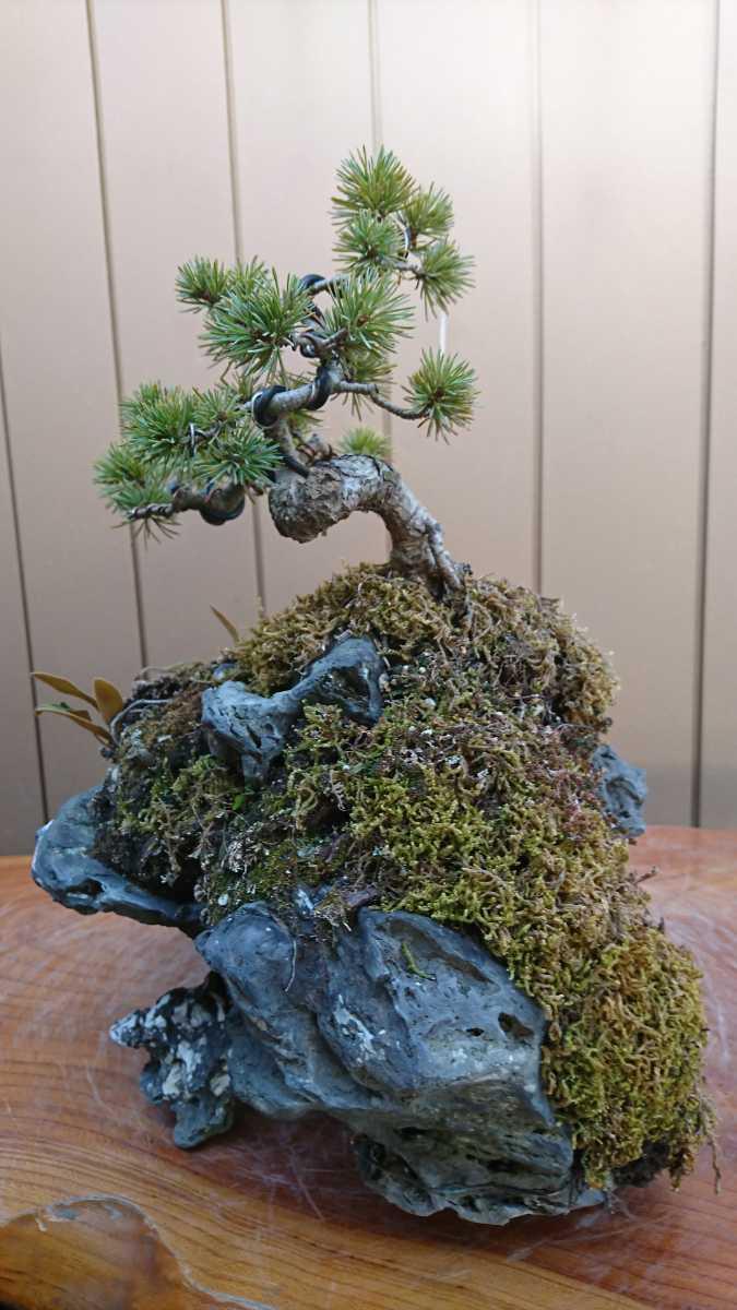 盆栽 五葉松 石付 樹高15cm_画像9