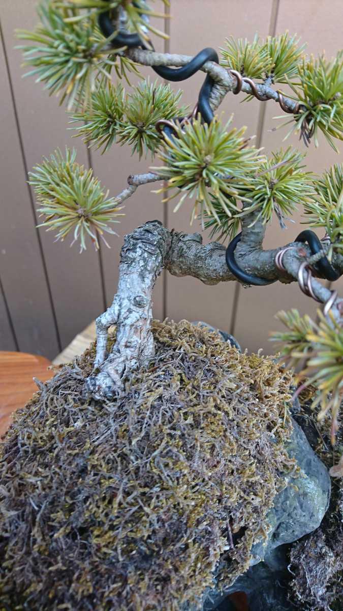 盆栽 五葉松 石付 樹高15cm_画像3