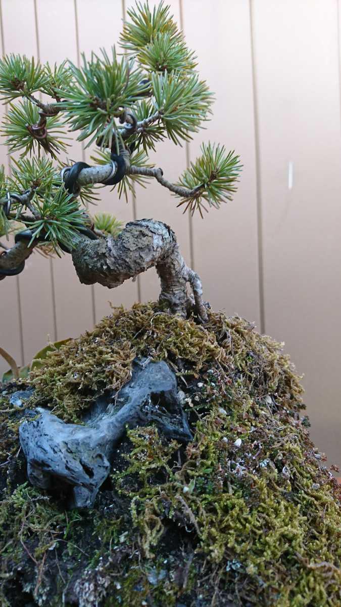 盆栽 五葉松 石付 樹高15cm_画像8