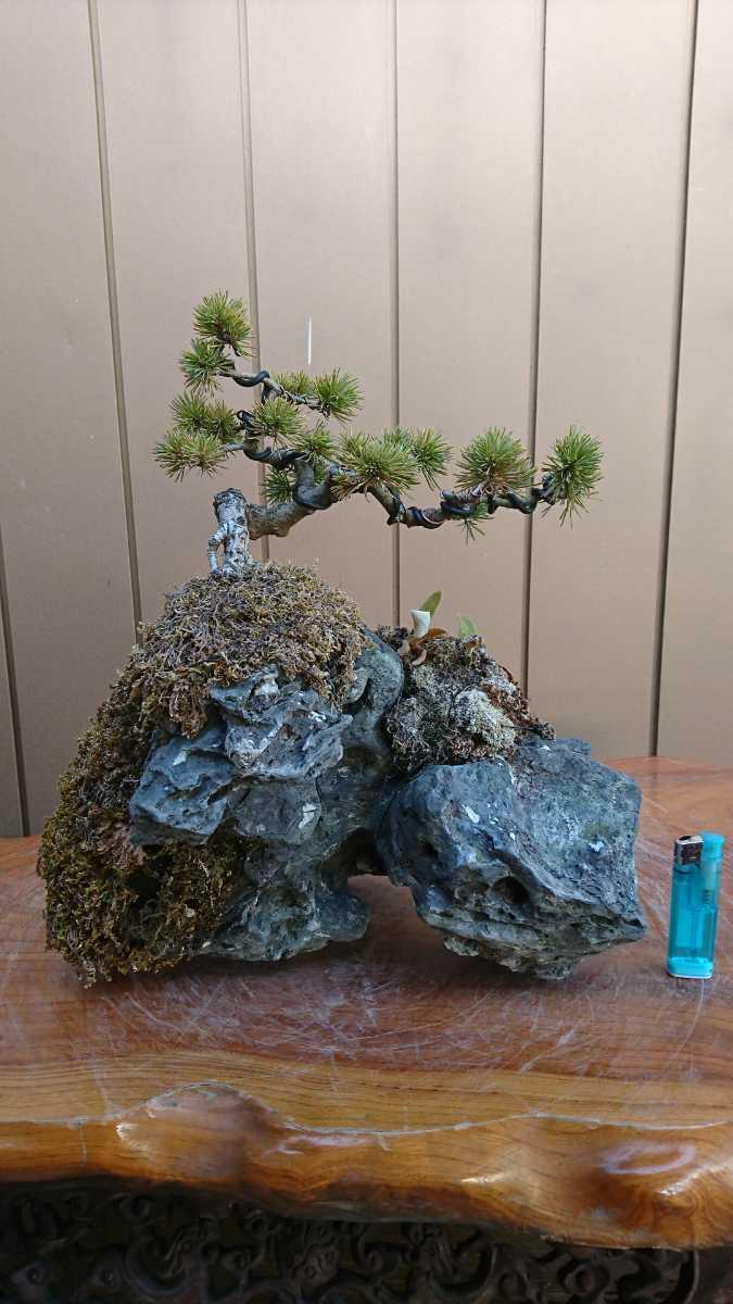 盆栽 五葉松 石付 樹高15cm_画像1