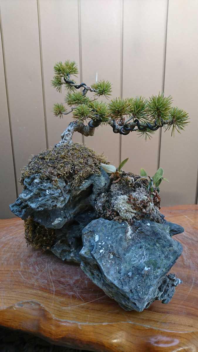 盆栽 五葉松 石付 樹高15cm_画像10