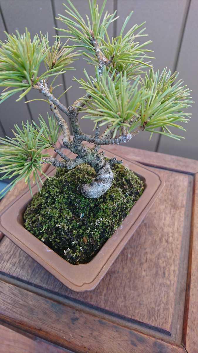 盆栽 五葉松 樹高12cm_画像8