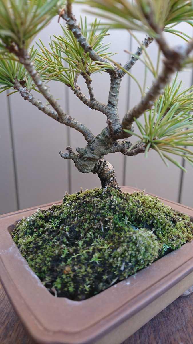 盆栽 五葉松 樹高12cm_画像7