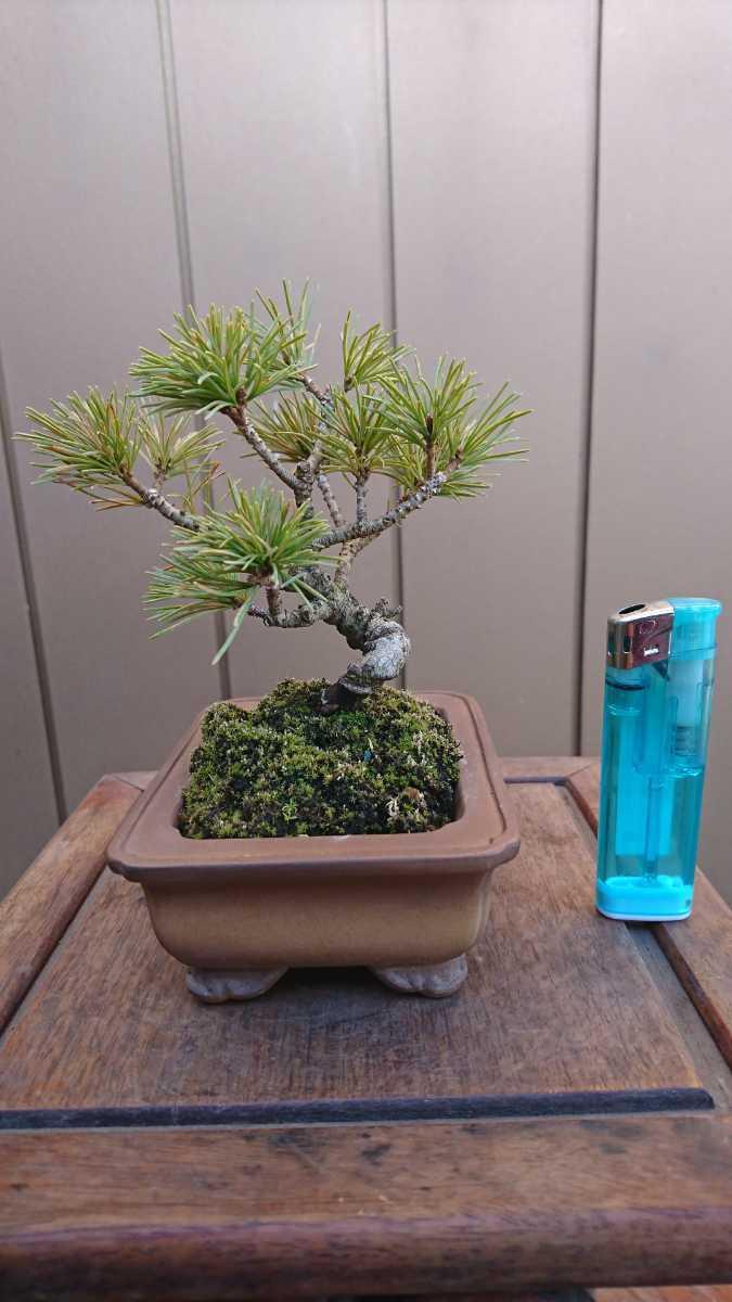 盆栽 五葉松 樹高12cm_画像2