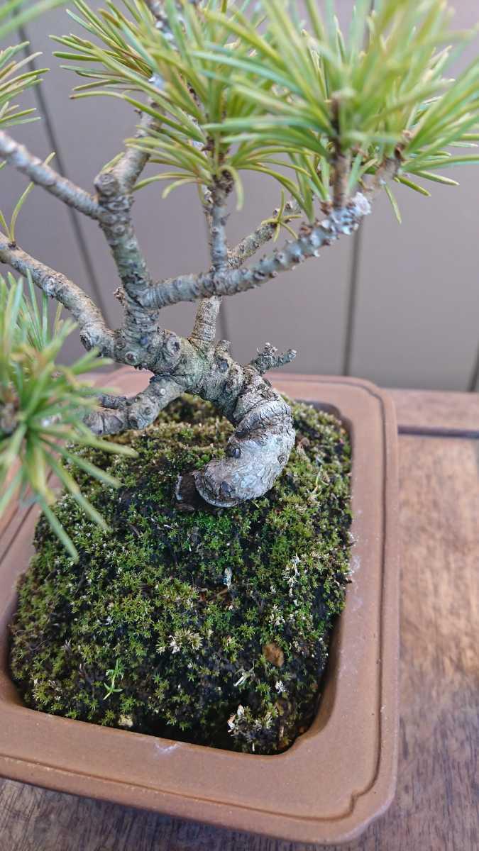 盆栽 五葉松 樹高12cm_画像3