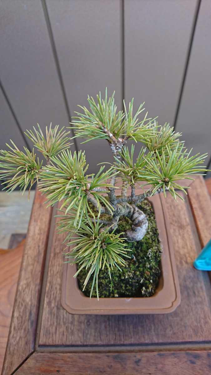盆栽 五葉松 樹高12cm_画像4