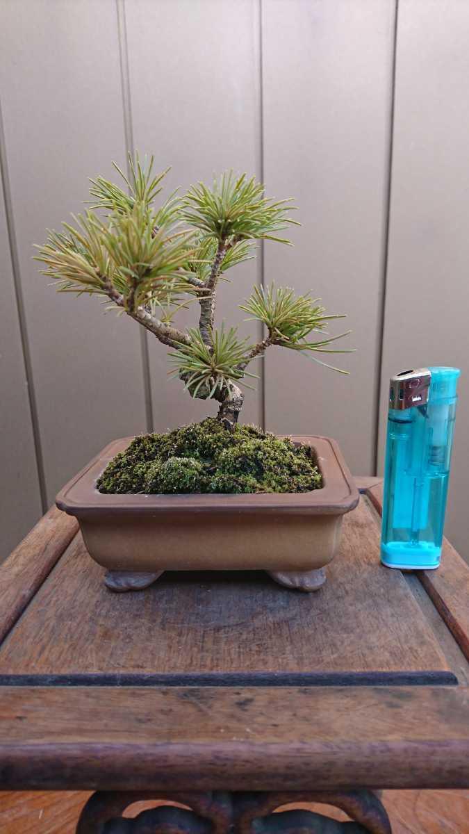 盆栽 五葉松 樹高12cm_画像1